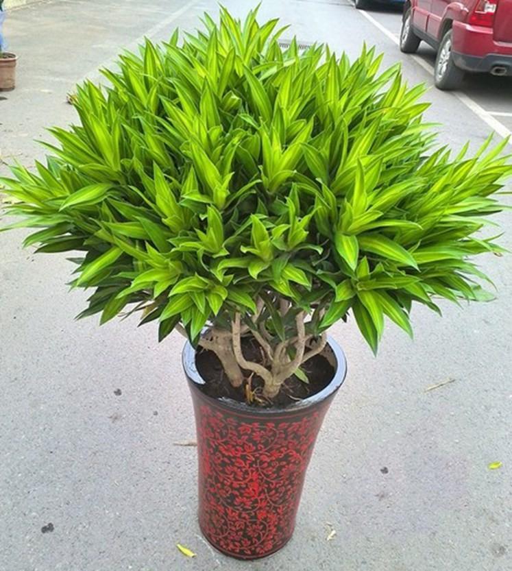 室内大型盆栽 客厅绿色长青植物 百合竹 金心百合竹 净化空气