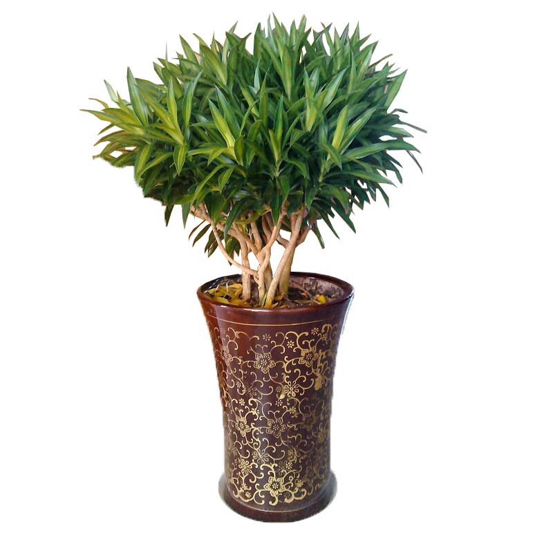 室内大型盆栽 高档客厅绿色长青植物 百合竹 金心百合竹 净化空气