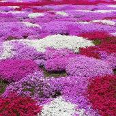芝樱花苗—耐寒耐热 开花机器 地被福禄考 芝樱花苗