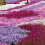 [嘉瑞]促销地被福禄考盆栽6色芝樱盆栽苗