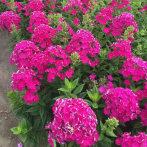 宿根福禄考花苗东北耐寒花卉工程绿化花苗庭院景观种植花苗耐旱