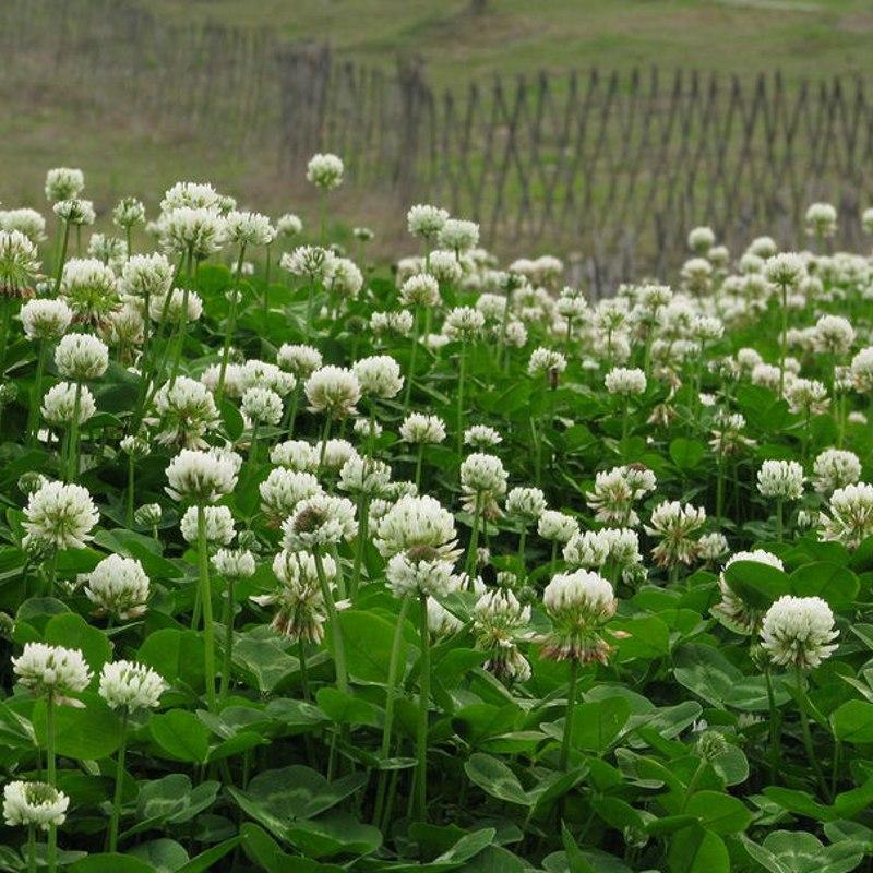 白三叶草种子 红三叶草种子 四季青草坪种子耐寒耐旱护坡种子草籽