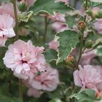 欧洲进口新品斑叶 花叶木槿 糖尖 Hibiscus syriacus 'Sugar Tip'