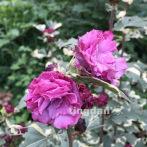 花叶木槿苗 长势偏慢 花苞不容易打开 纯露养