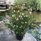 小木槿棒棒糖花苗花叶木槿重瓣大苗带花盆栽四季庭院花卉植物
