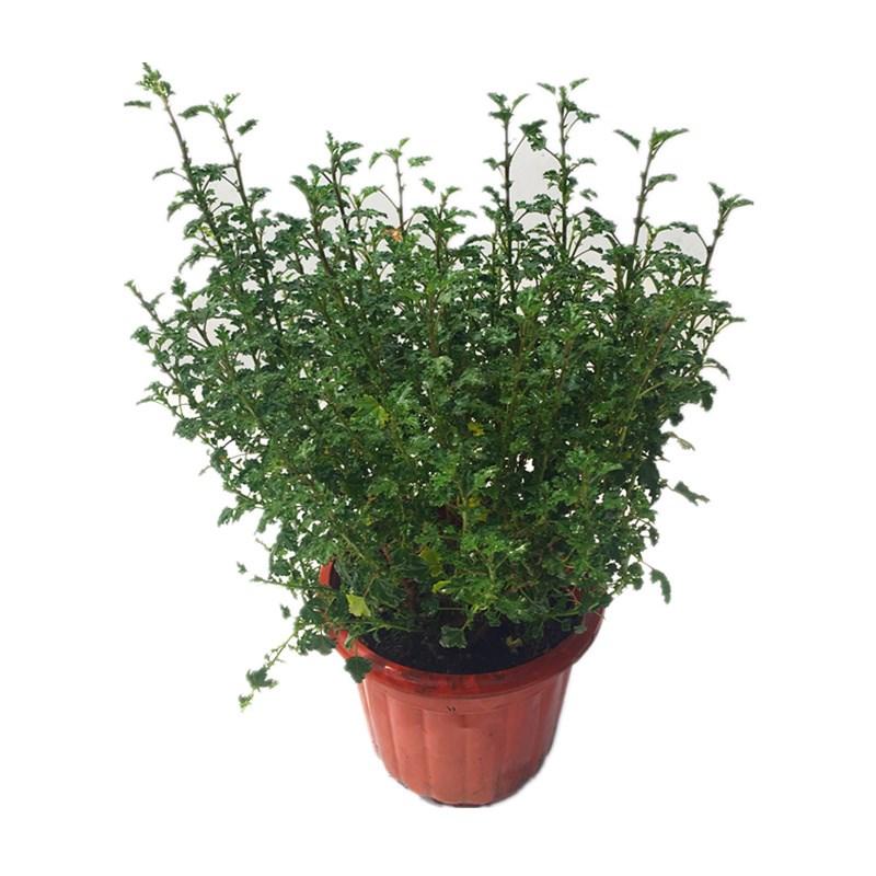小木槿花苗盆栽阳台庭院花叶木本花卉植物木槿芙蓉盆栽净化空。